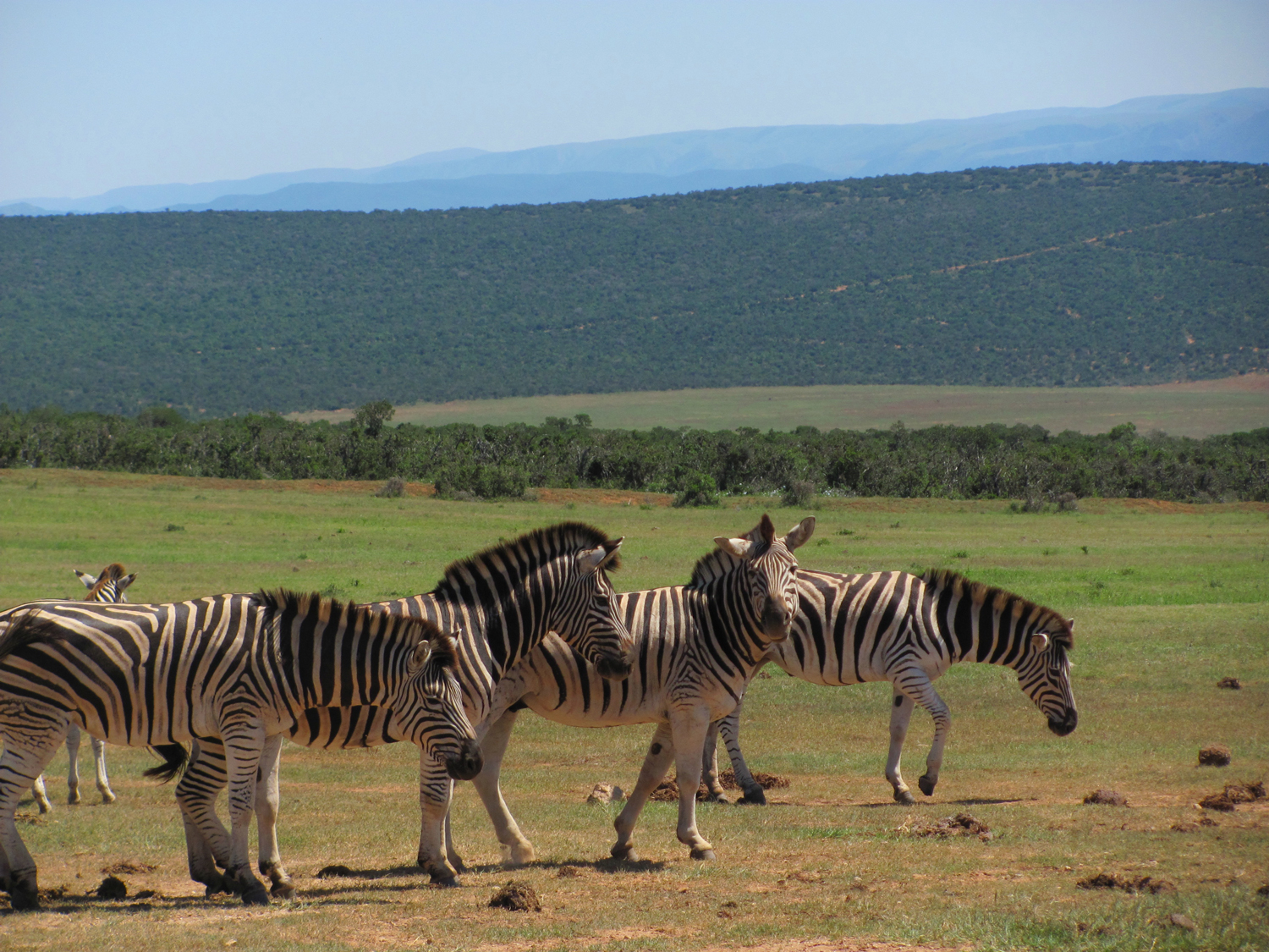 Addo-Elephant-National-Park-Exclusive-Tours-Burchells-Zebra-Family