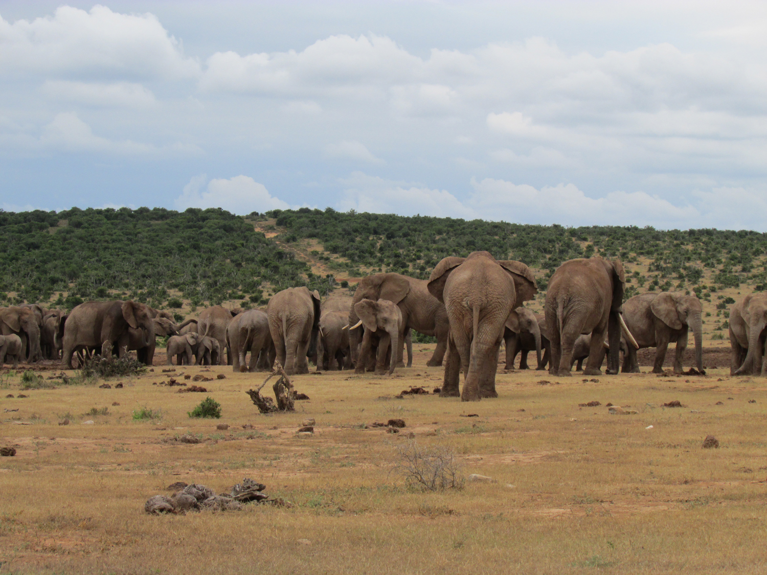 Addo-Elephant-National-Park-Exclusive-Tours-elephant-herd-1